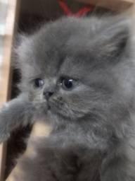 Filhote de Gato persa PURO