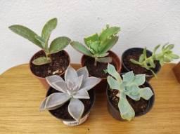 Suculentas lindas e outras plantas