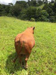 Vendo touro senepol registrado !