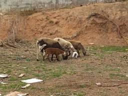 Ovelhas Santa Inês/Dorper