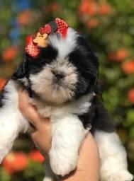 Pequena filhote de Shih Tzu Mini linda