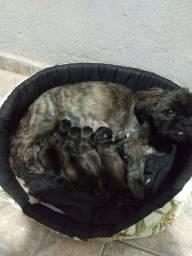 Vendo filhote de shitzu 4 fêmea