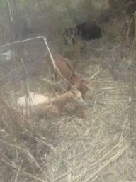 Cabras sanen com pardo alpino leite troco em carneiras