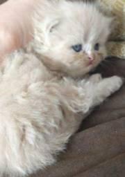 Filhote de gata persa femea pura femea vacinada com pedigreeEntrego em Joinville e rg