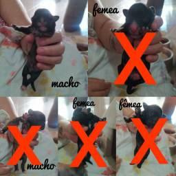 Filhotes de Poodle N° 1(APENAS UM MACHO DISPONÍVEL)