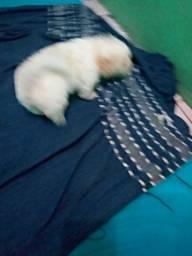 Maltês com poodle Lea