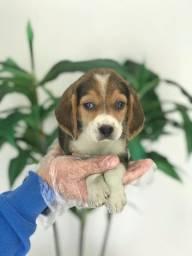 Beagle bicolor e tricolor, a pronta entrega mais info whats, filhotes com pedigree!