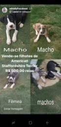 Filhotes raça American Staffordshire Terrier