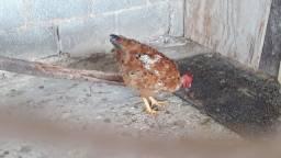 Vende galinha