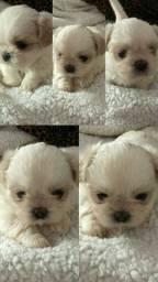 Lindo Shih-Tzu Branco Mini