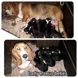 Filhotes Basset Hound puros - nascidos em 11/06/2020