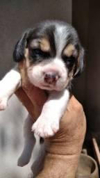 Beagle Filhote SUPER PROMOÇÃO!!