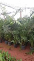 Areca bambu R$140,00