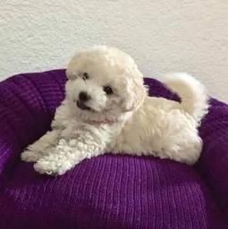 Poodle Mini Macho e Fêmea