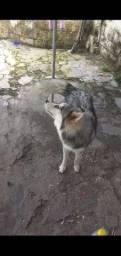 Husky siberiano  fêmea pelagem woolly excelente linhagem