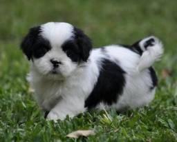 Filhotes de Beagle com garantia e pedigree