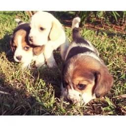 Macho e fêmea de Beagle filhote, com recibo, pedigree e garantia