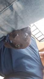 Estou doando cãozinho preto filhote