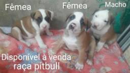 Disponível a venda, filhotes Pitbull um mês e seis dias de nascido .