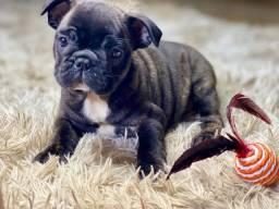 Maravilhosos Bulldogs Francês disponível pedigree