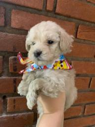 Adoráveis poodles macho disponível