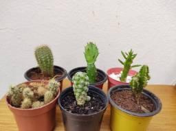 Mini Cactos para decoração e Jardim