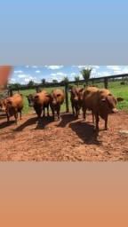Título do anúncio: [03]Barrolândia-TO - Senepol PO - Vacas, Novilhas e Garrotes ==
