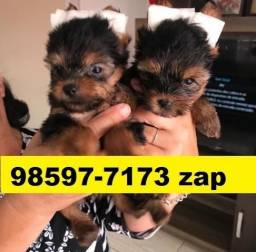 Canil Filhotes Cães em BH Yorkshire Poodle Beagle Lhasa Maltês Shihtzu
