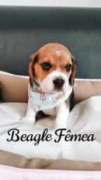 Beagle fêmeas disponíveis, venha conferir