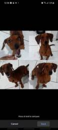 Doação Cachorro salsicha macho