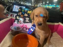 Labrador com pedigree macho! 10x sem juros