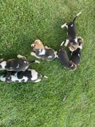 Beagle ingles / @canilcanaa/ AC