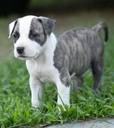 American Staffordshire Terrier Fêmea c/ pedigree