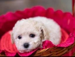 Poodle Mini toy fêmea 430 reais cada