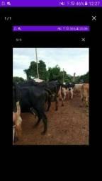 Procuro vacas leitera