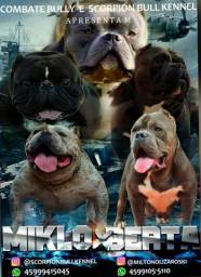 Filhotes de american bully pocket