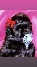 Shih tzu, fêmea, cor preto sólido
