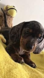 Filhotes de dachshund arlequim /salsichinha
