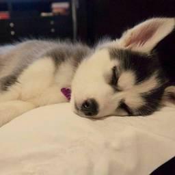 Husky Siberiano cinza/marrom/preto e branco, olhos azuis e bi colores a pronta entrega!