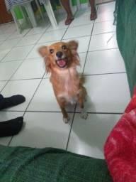 Vende-se cachorro de origem da Grécia raça ( kokoni Dog fêmea )