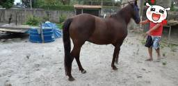 Égua Mangalarga Marchador 8.000