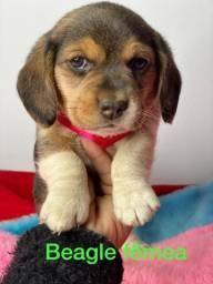 Beagle filhotes lindíssimos garanta ja o seu