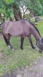 Cavalo manso e ótimo de laço