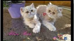 Gatos Persa Machos