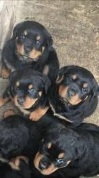 Rottweiler filhotinhos com garantias inclusas, enviamos para todo Brasil!