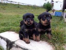 Rottweiler filhotes