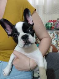 Bulldog Francês Criciúma-SC