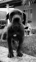 Pit Bull Blue nose