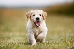 Cães filhotes de Golden Retriever, com pedigree