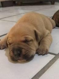 Cachorro (a) hotwailer com pitbull